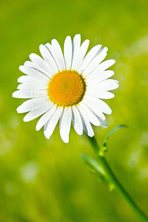 fresh and beautiful daisy flower in the garden