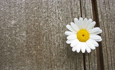 a beautiful daisy blossom on old wood