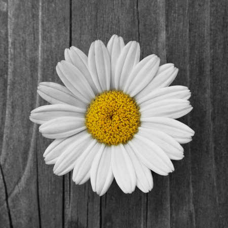 a beautiful daisy blossom on old wood photo