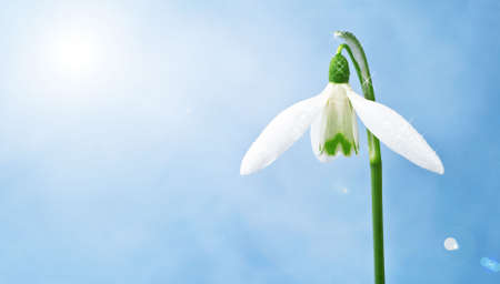 nice snowdrop with little waterdrips in front of the sky