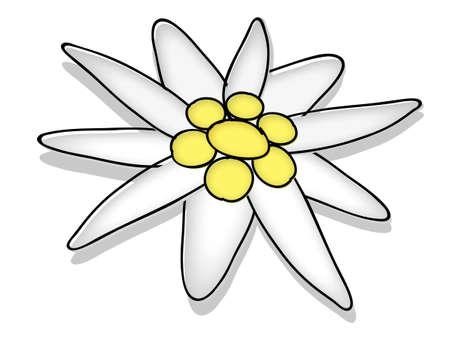 edelweiss blossom