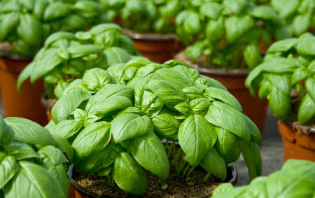 plantation of fresh aromatic and basil
