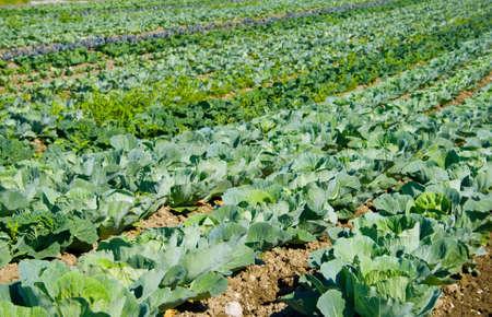 plantation of white cabbage