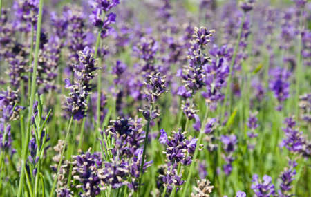 natural shot of a beauty and colorful lavender Standard-Bild