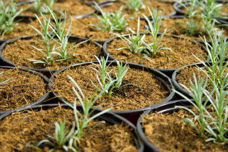 plantation of green and tasty rosemary Standard-Bild