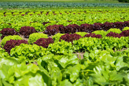 field of fresh and tasty salad/lettuce plantation Standard-Bild