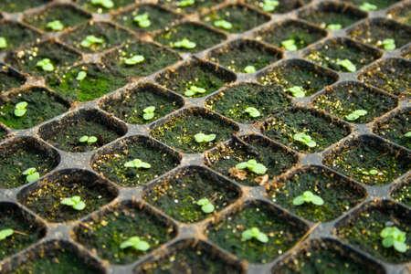 plantation of little seedlings Standard-Bild