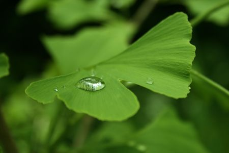 green ginkgo leaf with a waterdrip on the surface