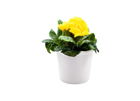 yellow primula in white pot isolated over white background