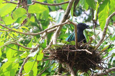 Nicobar Pigeon hatching in the nest on the branches in the forest.