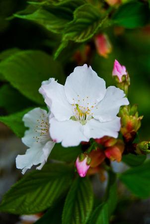 mirabilis: White flower of Mirabilis Jalapa