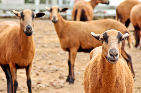 work took: Barbado Blackbelly Sheep focusing the attention Stock Photo