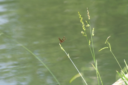 Dragon fly on grass stem leaning over water photo