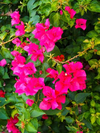Natural beauty Pink bougainvillea flower