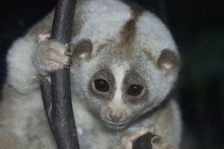 studio zoo: Slow Loris