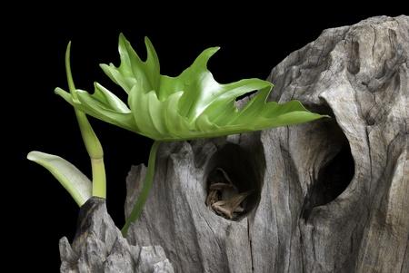 xanadu: green leaf and log