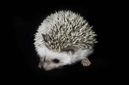 toed: African pygmy hedgehog on black background Stock Photo