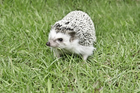 toed: African pygmy hedgehog on green grass Stock Photo