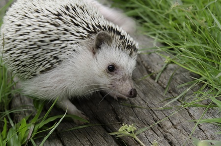 toed: African pygmy hedgehog on log