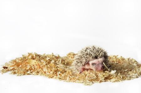 pigmy: African pigmy hedgehog