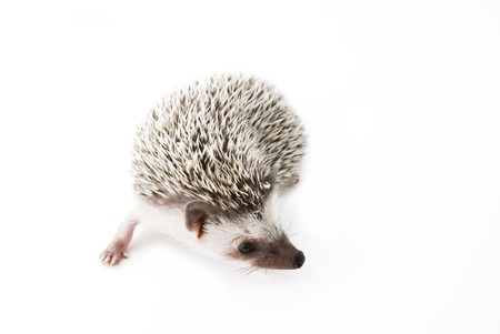 nocturnal: african pygmy hedgehog on white