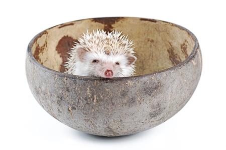 nocturnal: african pygmy hedgehog