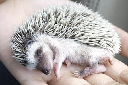 prickles: sleeping hedgehog Stock Photo