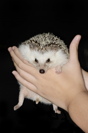 african pygmy hedgehog in hands Stock Photo - 18212017