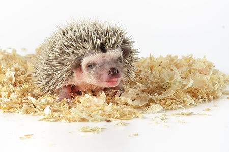 baby hedgehog Stock Photo - 18434815