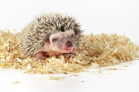 baby hedgehog Stock Photo - 18434815