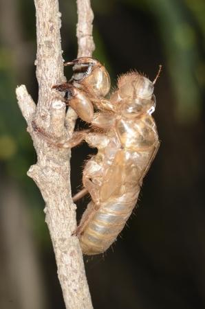 cast off: cicada slough