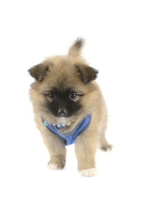 puppy pomeranian photo