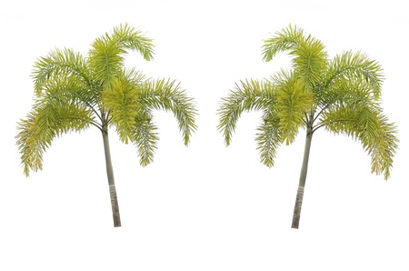 subtropics: coda di volpe palma