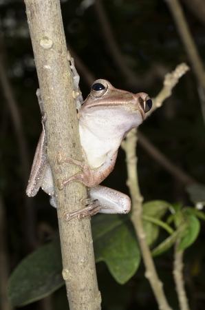 webfoot: tree frog Stock Photo