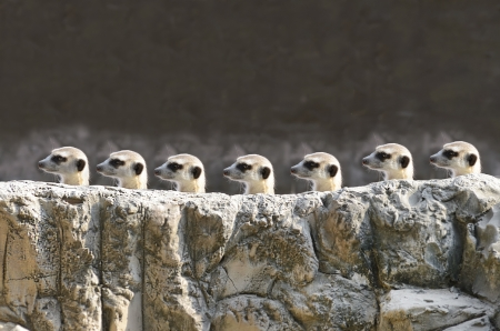 mangosta: Meerkets