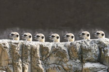 suricatta: Meerkets