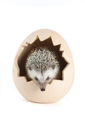 pygmy: african pygmy hedgehog in eggshell