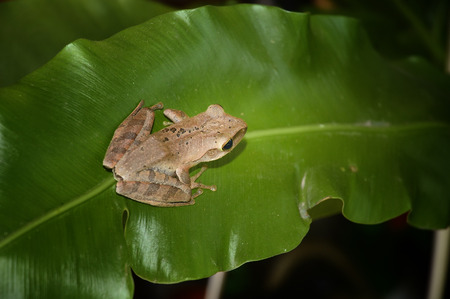 webfoot: tree frog on green leaf