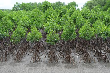 forestation: mangrove forestation Stock Photo