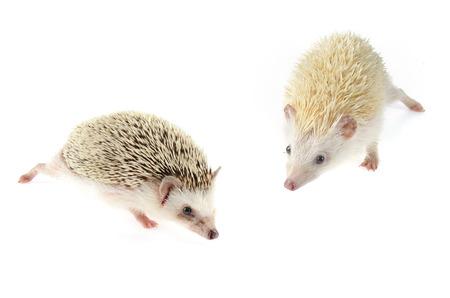 pygmy: african pygmy hedgehog