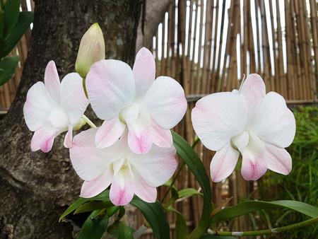 phalaenopsis: white orchids Stock Photo