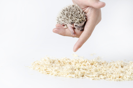 african pygmy hedgehog in hand Фото со стока