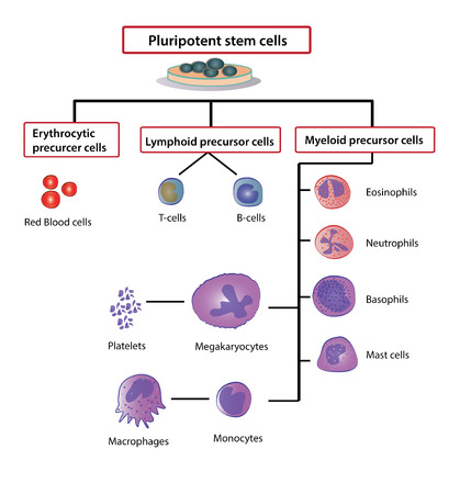 differentiation: Differentiation of Blood Cells