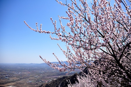 sunny pink peach bolssom in the spring time with shine blue sky