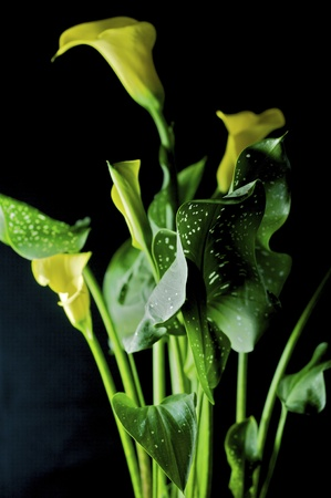 egyptian lily: yellow and green calla lily isolated.