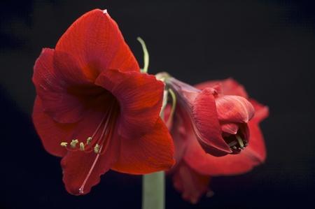 blooming Hippeastrum Vittatum isolated in black background