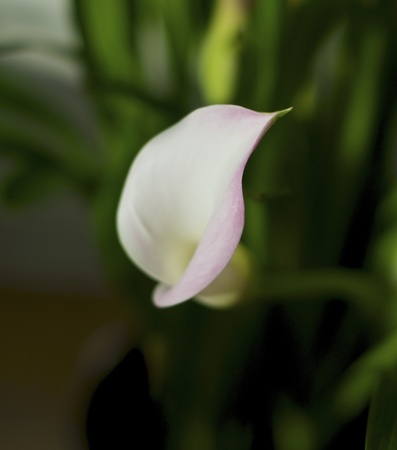 egyptian lily: pink and white calla lily isolated. Stock Photo