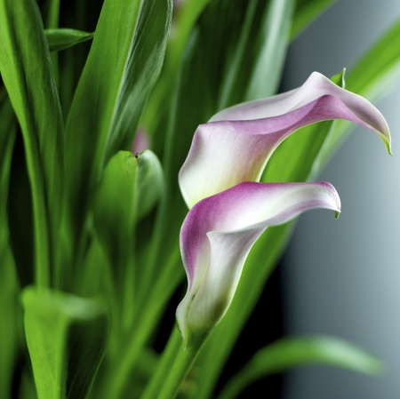 pink and white calla lily isolated. photo