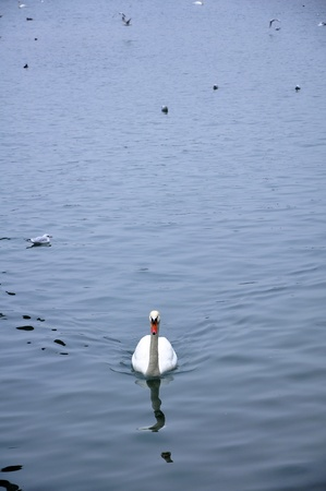 water fowl: swan floating on the water with fowl of water bird