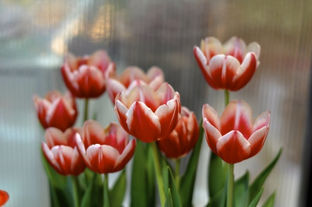 holand: orange and red tulips are strongly bloomed in miniature